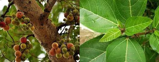 औदुंबराचे फळे आणि पाने