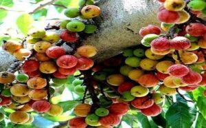 औदुंबर वृक्ष – कल्पवृक्ष : Audumbar Tree